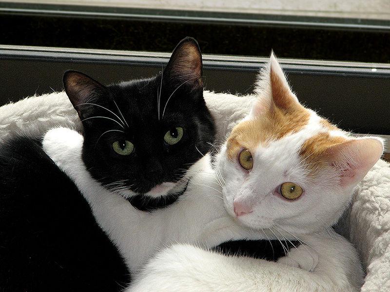 800px-Black_white_cats